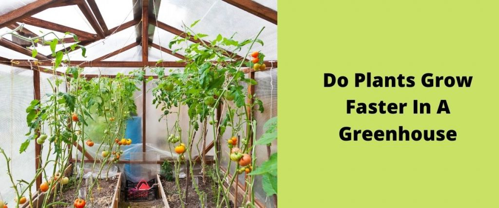 Do Plants Grow Faster In A Greenhouse